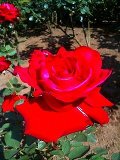 s-rose__.jpg